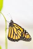 Бабочка монарха (plexippus Даная) Стоковая Фотография RF