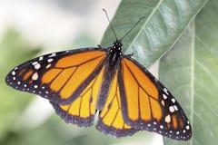 Бабочка монарха (plexippus Даная) Стоковые Изображения RF