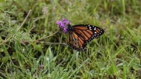Бабочка монарха (plexippus Даная) Стоковые Изображения