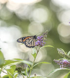 Бабочка монарха, plexippus Даная Стоковая Фотография RF