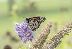 Бабочка монарха, plexippus Даная Стоковые Изображения