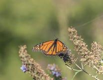 Бабочка монарха, plexippus Даная Стоковое фото RF
