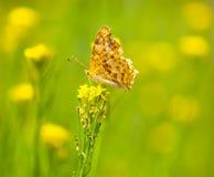 Бабочка монарх на желтом цветке стоковая фотография rf