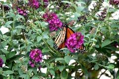 Бабочка, монарх, проникая на юг к Оклахомаа-Сити стоковое изображение rf