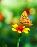 Бабочка - монарх стоковые изображения