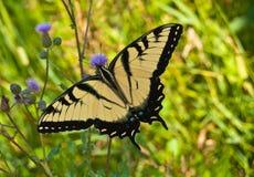Бабочка монарх Стоковые Фотографии RF