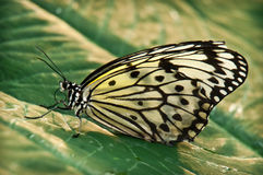 Бабочка монарх стоковое изображение