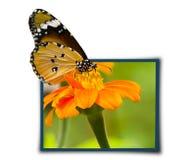 Бабочка монарх Стоковые Изображения