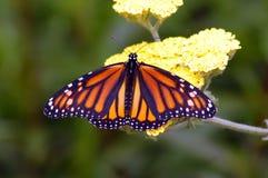 Бабочка монарх Стоковое фото RF