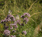 Бабочка мраморизованная испанским языком белая Стоковые Изображения RF