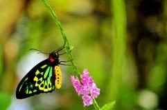 Бабочка, мужские пирамиды из камней Birdwing в aviary Стоковое Изображение