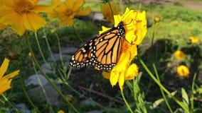 Бабочка мужского монарха на цветке coreopsis сток-видео