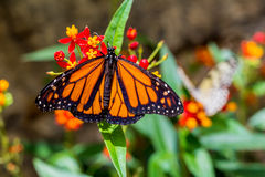 Бабочка мужского монарха Стоковые Изображения