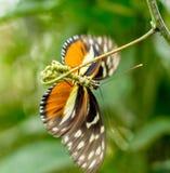 бабочка насекомого на зеленой запачканной предпосылке, Стоковые Фотографии RF