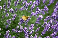 Бабочка на лаванде в поле Стоковые Изображения