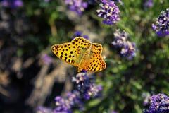 Бабочка на лаванде Стоковые Изображения RF