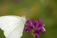 Бабочка на лаванде Стоковая Фотография RF