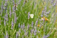Бабочка на лаванде Стоковое Изображение