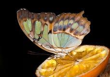 Бабочка на апельсине Стоковое Изображение