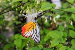 Бабочка на белом цветке Стоковое фото RF