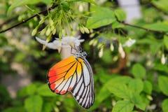 Бабочка на белом цветке Стоковая Фотография