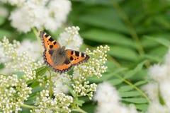 Бабочка на белые цветки Стоковое Изображение RF