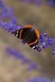 Бабочка на большом Bluebonnet загиба Стоковые Изображения RF