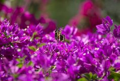 Бабочка на бугинвилии, Занзибаре, Танзании Стоковое фото RF