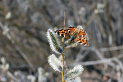 Бабочка на вербе на весне Стоковое Изображение
