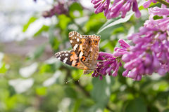 Бабочка на ветви сирени Стоковое фото RF