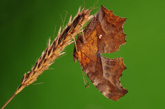 БАБОЧКА НА ВЕТВИ, c-aureum Polygonia Стоковое фото RF
