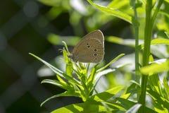 Бабочка на ветвях завода, насекомое hyperantus Aphantopus красивая ringlet сидя на листьях стоковые фотографии rf