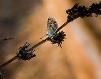 Бабочка на восходе солнца стоковое фото rf
