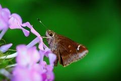 Бабочка на лепестке Стоковая Фотография