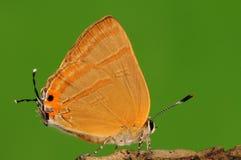 Бабочка на дереве, caerulea Rapala Стоковые Изображения