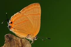 Бабочка на дереве, caerulea Rapala Стоковые Фото