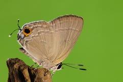 Бабочка на дереве, rapaloides Deudorix Стоковое Изображение