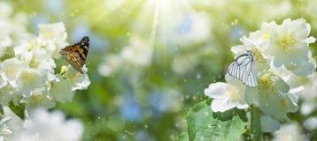 Бабочка на жасмине стоковые фото