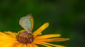Бабочка на желтом макросе цветка Стоковые Изображения RF