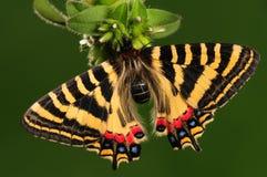 Бабочка на женщине Luehdorfia цветка chinensis/ стоковое изображение rf