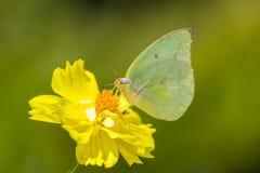 Бабочка на желтой маргаритке в природе Стоковое Изображение RF