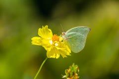 Бабочка на желтой маргаритке в природе Стоковые Фото