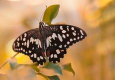 Бабочка на желтой предпосылке Стоковые Изображения