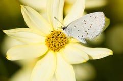 Бабочка на желтом цветке стоковое фото