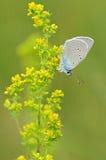 Бабочка на желтом цветке Стоковое Изображение RF