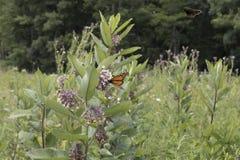 Бабочка на заводе Milkweed Стоковая Фотография