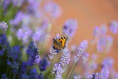 Бабочка на зацветая лаванде Стоковое Изображение