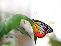 Бабочка на зеленом вале в домашнем саде Стоковые Фотографии RF