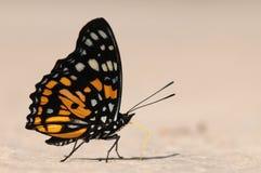 Бабочка на земле, Sephisa princeps Стоковые Изображения