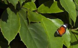 Бабочка на зеленых листьях Стоковая Фотография